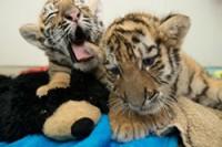 В хельсинском зоопарке подрастают тигрята